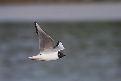 Bonaparte's Gull - Anchorage, AK, USA