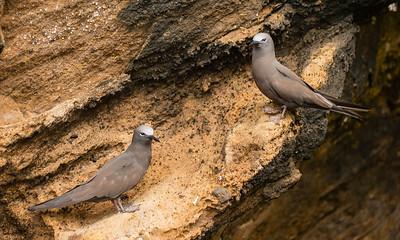 Brown Noddy - Punta Vicente Roca, Isla Isabela, Galapagos, Ecuador