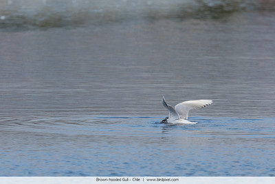 Brown-hooded Gull - Chile
