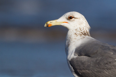 California Gull - Half Moon Bay, CA, USA