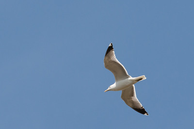 California Gull? - Milpitas, CA, USA