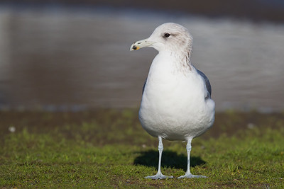 California Gull - Richmond Marina, Richmond, CA, USA
