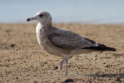 California Gull - Early(?) Second cycle: Note the grayish back, dirty legs, bill dipped in black ink
