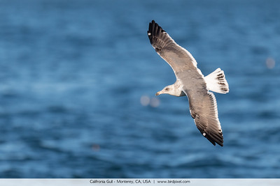 Califronia Gull - Monterey, CA, USA