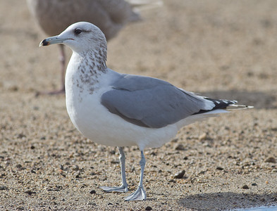 California Gull - Adult: Note the gray mantle not as dark as western, dirty legs