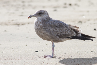 California Gull with  malformed beak - Half Moon Bay, CA, USA