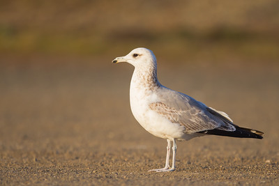 California Gull - Piedras Blancas, CA, USA