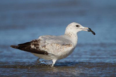 California Gull - Milpitas, CA