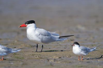 Caspian Tern - Moss Landing, CA, USA