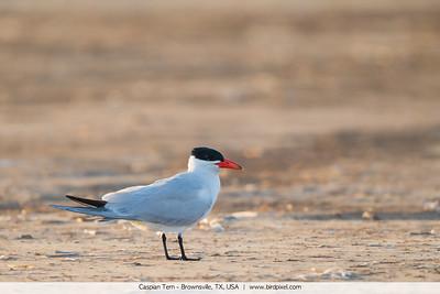 Caspian Tern - Brownsville, TX, USA