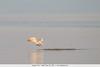 Caspian Tern - Salton Sea, CA, USA