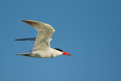 Capian Tern in flight - Brownsville, TX, USA