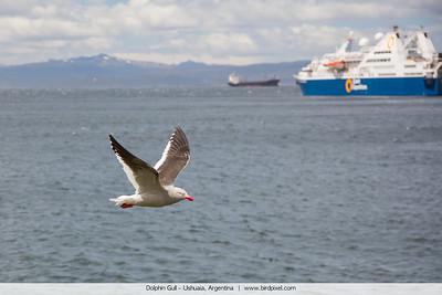 Dolphin Gull - Ushuaia, Argentina
