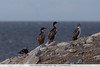 Imperial Cormorants and Dolphin Gull - Chile