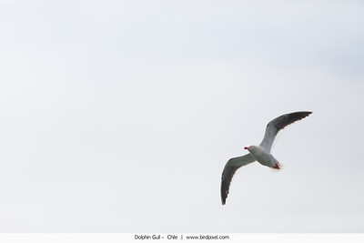 Dolphin Gull -  Chile