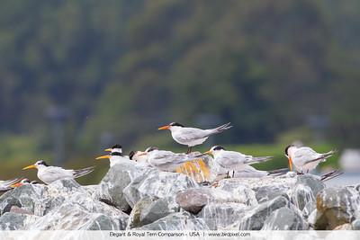 Elegant & Royal Tern Comparison - USA