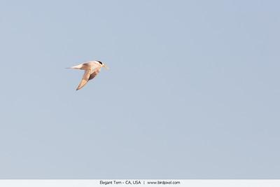 Elegant Tern - CA, USA