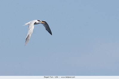 Elegant Tern - USA