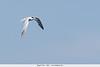 Elegant Tern - Nr. Moss Landing, CA, USA