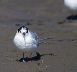 Forster's Tern - Moss Landing, CA, USA