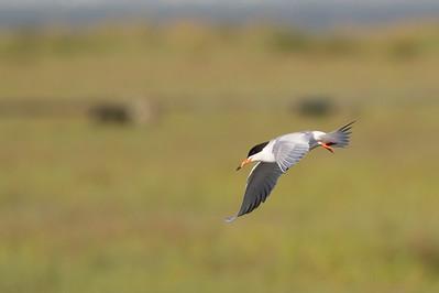 Forster's Tern in flight - Palo Alto, CA, USA