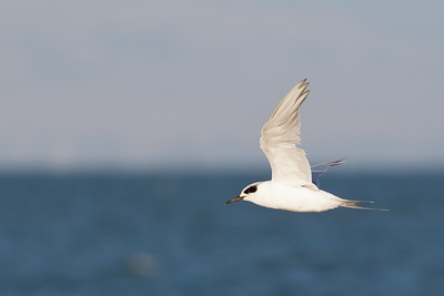 Forster's Tern - Foster City, CA, USA