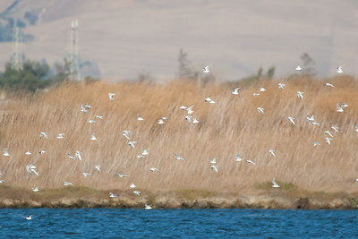 Forster's Terns - Mountain View, CA, USA