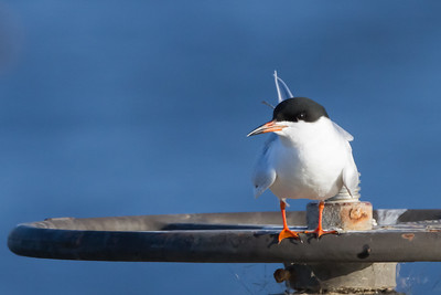 Forster's Tern - Shoreline Park, Mountain View, CA, USA