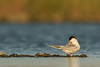 Forster's Tern - Redwood Shores, CA, USA