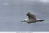 Glaucous Gull - Hokkaido, Japan