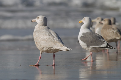 Glaucous, Western, Glaugouc-winged Gulls - Half Moon Bay, CA, USA