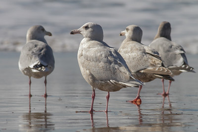 Ringed, Glaucous & Glaucous-wimged (1 CY) Gulls - Half Moon Bay, CA, USA