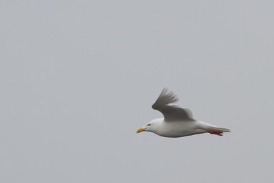 Glaucous Gull - Nome, AK, USA