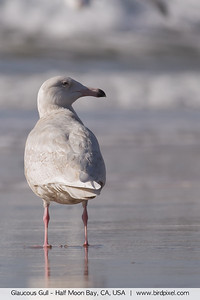 Glaucous Gull - Half Moon Bay, CA, USA