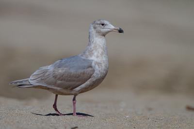 Glaucous-winged Gull - Half Moon Bay, CA, USA