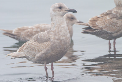 Glaucous-winged Gull - Richmond, CA, USA