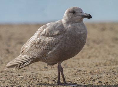 Glaucous-winged Gull - Half Moon Bay, CA, USA