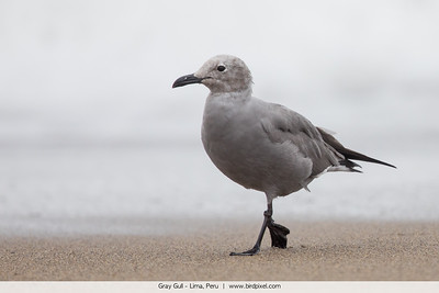 Gray Gull - Lima, Peru