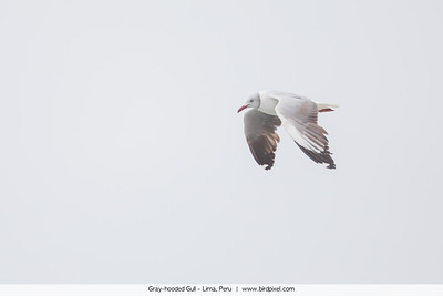 Gray-hooded Gull - Lima, Peru
