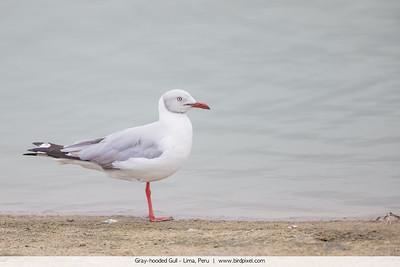 Gray-hooded Gull - Lima, Peru