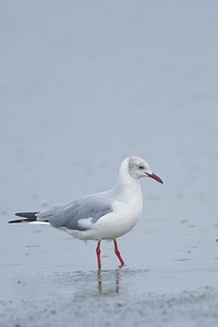 Grey-headed Gull - Lake Nakuru National Park, Kenya