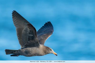 Heerman's Gull - Monterey, CA, USA