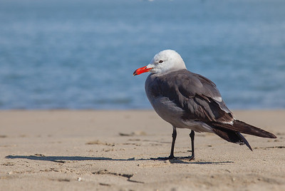 Heerman's Gull - San Francisco, CA, USA