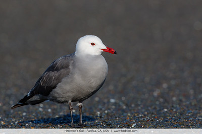 Heerman's Gull - Pacifica, CA, USA