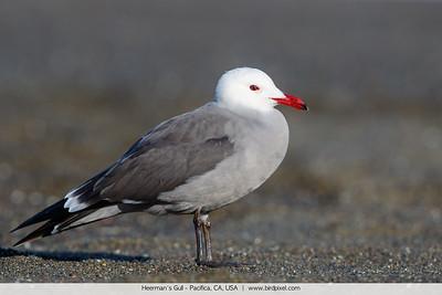 Heerman's Gull - Pacifica, CA, USA