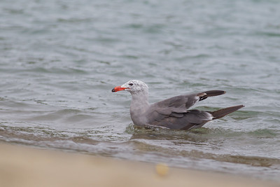 Heermann's Gull - San Francisco, CA, USA