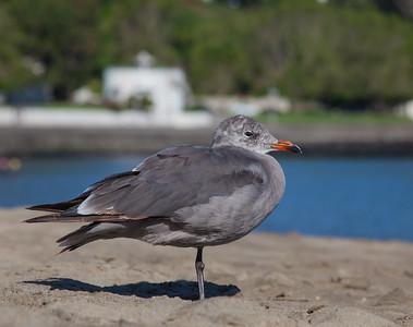 Heerman's Gull - San Francisco, CA, USA