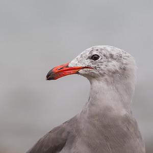 Heermann's Gull - San Francisco, CA, USA