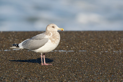 Herring Gull - Pacifica, CA, USA