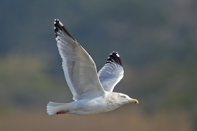 Herring Gull - Gazos Creek south of Half Moon Bay, CA, USA